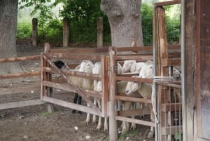 Sheep16 02