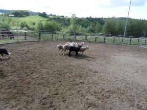 Sheep16 03
