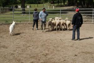 Sheep16 05