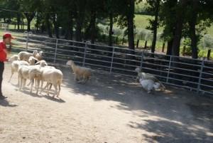 Sheep16 06