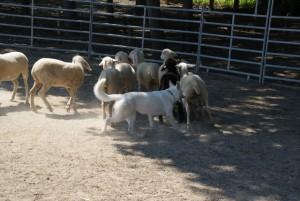 Sheep16 07