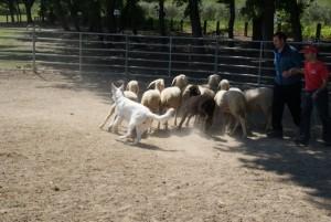 Sheep16 08