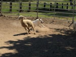 Sheep16 09