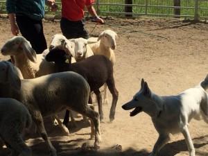 Sheep16 10