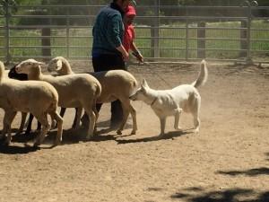 Sheep16 11