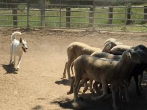 Sheep16 12