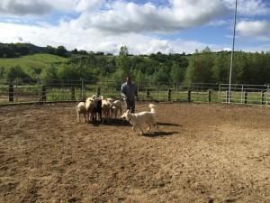 Sheep16 13