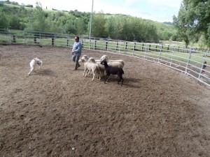 Sheep16 16