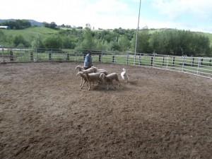 Sheep16 17
