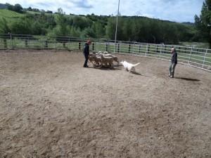 Sheep16 18