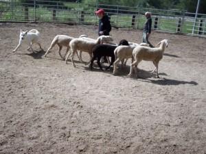 Sheep16 19