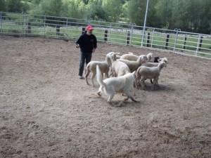 Sheep16 20