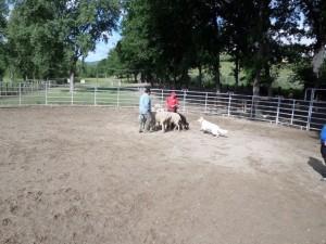 Sheep16 21