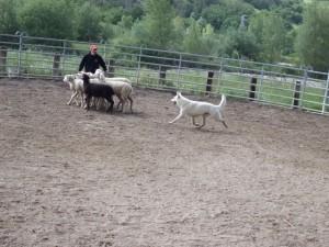 Sheep16 22
