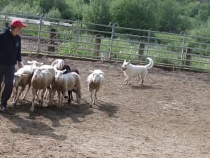 Sheep16 23
