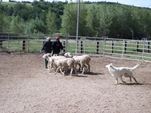 Sheep16 24