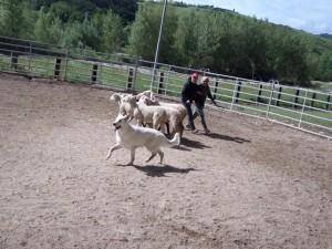 Sheep16 25