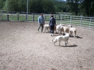 Sheep16 26