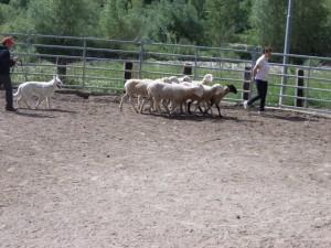 Sheep16 28