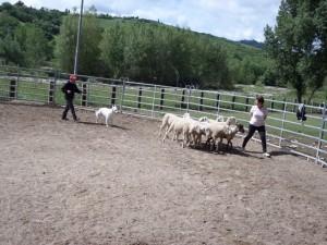 Sheep16 29