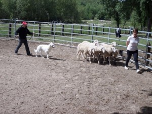 Sheep16 30